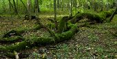 Old Stand Of Bialowieza Forest With Rest Of Decline Oak