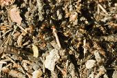 Ants crawling in the anthill. Macro image