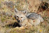 Lying Grey Fox