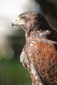 Falcon For Hunt