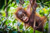 Worlds Cutest Baby Orangutan Hangs In A Tree In The Jungles Of Borneo poster