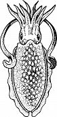 foto of devilfish  - Cuttlefish close up isolated on white background - JPG