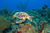 Cayman's Turtle