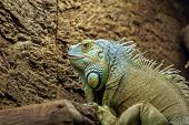 Iguana At The Zoo. An Animal In Captivity. Animal In The Zoo. Dangerous Wild Animal. poster