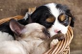 pic of cat dog  - spaniel  puppy and kitten - JPG
