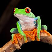 stock photo of nocturnal animal  - red eyed tree frog at night in tropical rainforest treefrog Agalychnis callydrias in jungle Costa Rica bright vivid colors beautiful colorful rainforest animal - JPG