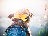 Chihuahua Wearing Straw Hat, Sunglasses And Denim Overalls Enjoys Sun On The River Bank . Cute Littl poster