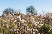 foto of goldenrod  - Fluffy seed heads at dry Goldenrod plants in a natural reserve with various other plants and trees - JPG