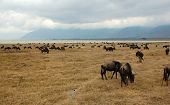 Gnus Next To The Ngorongoro Crater Lake