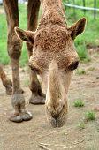 arabischen Kamels