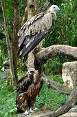 Himalayan Griffon Vulture And Cinereous Vulture