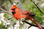 image of cardinal  - Male Northern Cardinal  - JPG