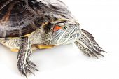 foto of terrapin turtle  - red ear turtle isolated on white - JPG