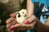 Holding a little chick
