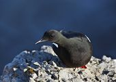 Black guillemot or cepphus grylle on the rock