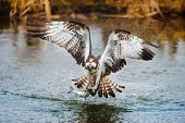 stock photo of fish pond  - Osprey catching a fish from a pond - JPG