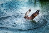 stock photo of osprey  - Osprey rising from dark water with spread wings - JPG