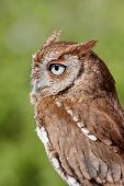 foto of screech-owl  - Close - JPG