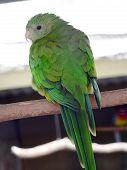 foto of king parrot  - superb parrot looking over its shoulder  - JPG