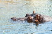 stock photo of hippopotamus  - hippopotamus hippo resting in the blue water - JPG