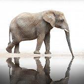 Drinking Elephant (Loxodonta africana).