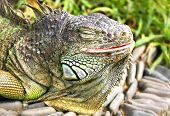 iguana basking on the sun