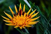 stock photo of apache  - Apache Gazania - vibrant yellow and red decorative flower 