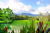 beautiful balinese rice fields