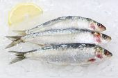 three fresh sardines on ice