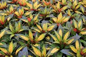 Gorgeous leaves of painted paradise plant