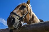 image of workhorses  - Portrait of an old work horse on a background of blue sky - JPG