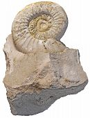 image of paleozoic  - fossilized snail in a piece of rock isolated on white background - JPG