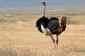 Male Ostrich Looking Around