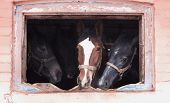 foto of troika  - Three horses are looking through old window - JPG