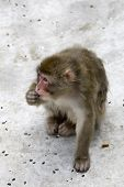 Macaca Fuscata Grey Japanese Monkey