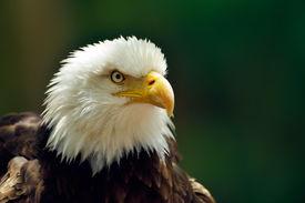 stock photo of bald headed  - The Bald Eagle  - JPG