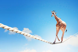 picture of dangerous situation  - Image of giraffe walking on rope high in sky - JPG