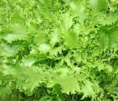 picture of endive  - Corrugated endive leaves grown in the garden - JPG