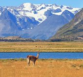 Argentine Patagonia. Yellow field, blue lake and snow-capped mountains. On the banks of guanaco graz
