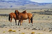 Three magnificent bay mustang. Argentina. Patagonian prairie on a summer day