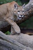 Portrait Cougars