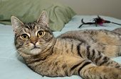 Tabby Cat Laying On Bed