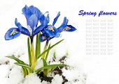 Spring flowers, snowdrops against a fresh grass