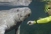 Woman greeting a manatee