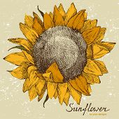 hand drawn sunflower in retro style