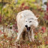 Blonde Wolf (Canis lupus) Open Mouth