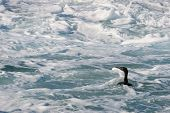 Cape Cormorant  Swim In Foam Water.