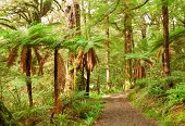 Te Urewera Treks. Temperate rain forest with Fern trees, Te Urewera National Park, North Island, New Zealand