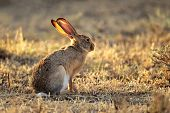 Scrub hare (Lepus saxatilis) in natural habitat, South Africa