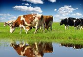 stock photo of dairy cattle  - Cows grazing on pasture - JPG